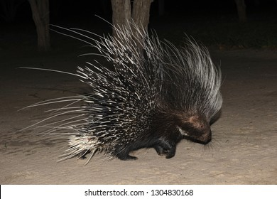 Cape porcupine or South African porcupine, (Hystrix africaeaustralis). Botswana