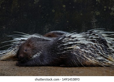 Cape porcupine or South African porcupine, (Hystrix africaeaustralis) in the zoo.