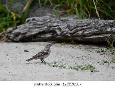 Cape Sparrow on the ground