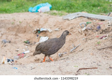 Cape spurfowl on bacground of garbage. South Africa