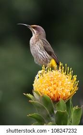 Cape Sugar bird sitting on a pincushion flower