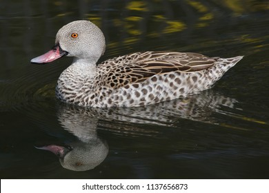 Cape teal (Anas capensis). Wild life animal.
