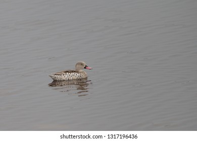 Cape Teal in Tanzania
