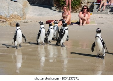 Cape Town, South Africa, December 25, 2008, Sunbathers watching African Penguins on a beach