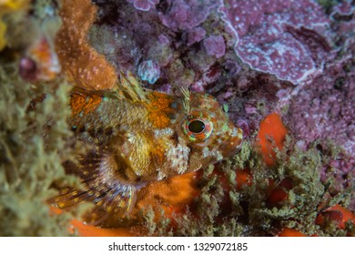 Cape triplefin blenny (Cremnochorites capensis) fish closeup side view sitting on the reef.
