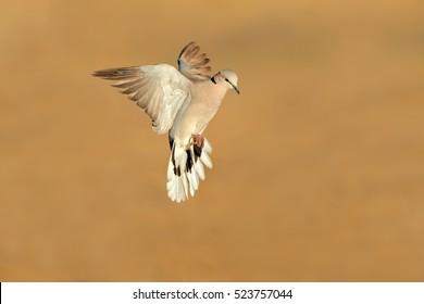 Cape turtle dove (Streptopelia capicola) in flight, Kalahari desert, South Africa