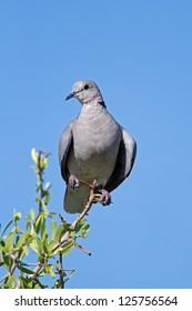 Cape Turtle-dove perched on twig; Streptopelia capicola