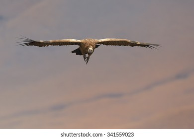 Cape vulture in flight in the morning light with remote orange background, front view