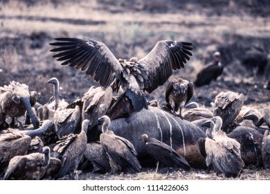 Cape Vulture (Gyps coprotheres), Kruger National Park, Mpumalanga, South Africa
