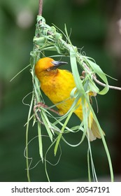 Cape weaver bird busy building it's woven nest