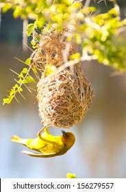 Cape Weaver Bird and nest