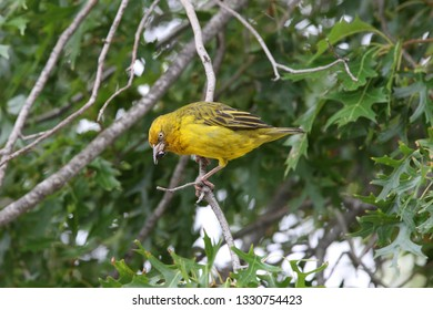 Cape weaver, Ploceus capensis, feeding on an insect, Houw Hoek Pass, South Africa