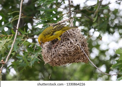 Cape weaver, Ploceus capensis, with its nest, Houw Hoek Pass, South Africa
