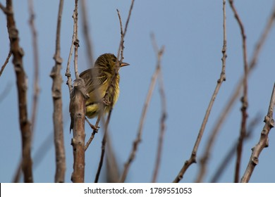 Cape weaver (Ploceus capensis) perched in a tree puffing its yellow feathers