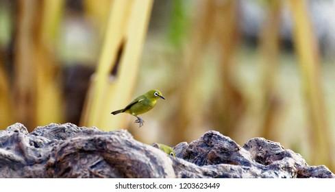 Cape White-Eye high jumping, Birdbath