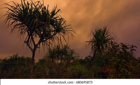 Cape York Australia pandanus trees in the sunset