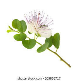 Caper branch with flower isolated on white