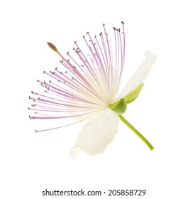 Caper flower isolated on white