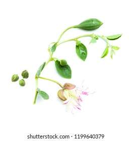 Caper on white. Capers with green leaves, flower and bud