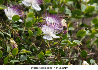 Caper plant with blossom