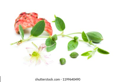 Caper plant, bud, green leaves and flower. Capers capparis spinosa on white background