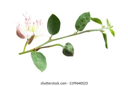 Caper plant isolated on white. Capparis spinosa branch on white background