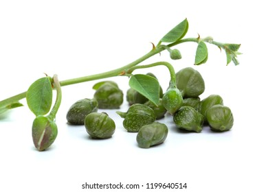 Caper plant on white. Capers with green leaves and bud