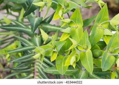 Caper spurge (Euphorbia lathyris), close-up