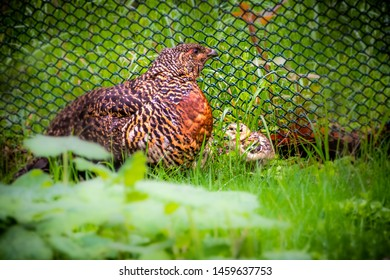 Capercaillie with newly hatched chicks.