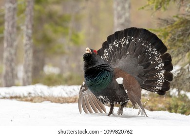 Capercaillie in taiga forest