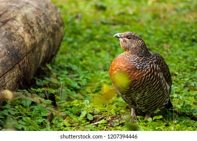capercaillie with tree trunk