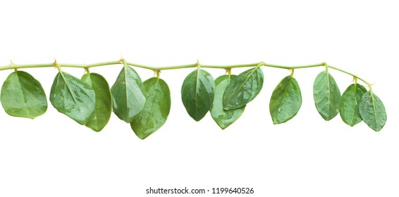 Capers plant isolated on white background. Capparis spinosa leaves