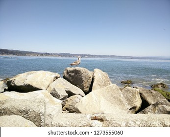 Capitola Beach, California. A Shorebird sits on the rock to enjoy the breeze of the Sea during Summer.