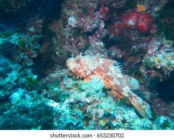 Capon fish in the Mediterranean Sea, sleeping on the rocks