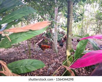 capons are walking in tropical forest