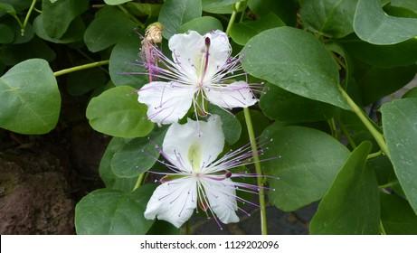 Lyrics containing the term: family capparidaceae