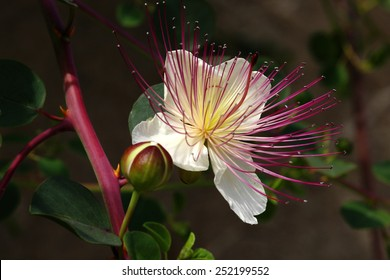 Capparis spinosa flower or caper bush is an useful and beautiful plant