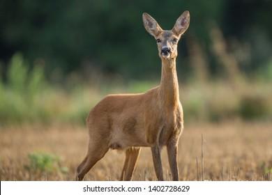 Capreolus capreolus, female Roe Deer
