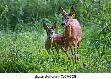 Capreolus capreolus, female Roe Deer and young fawn- baby deer in wild nature.  Wildlife animals. Europe, Slovakia.