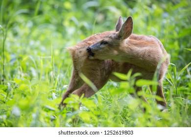 Capreolus capreolus, Roe Deer , baby deer licks its back while standing on green grass. Wildlife