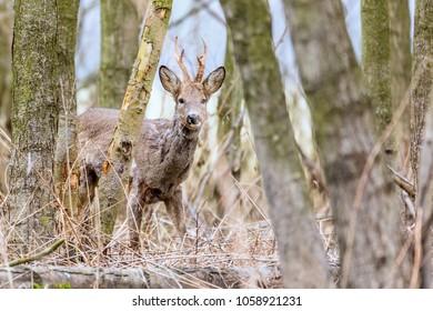 Capreolus capreolus - roe deer, beautiful male standing in reeds. Beautiful young male antlers. Wildlife scenery, Slovakia, Europe.