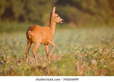 Capreolus capreolus,  Roe Deer walking on the agricultural field. Wildlife animals. Europe, Slovakia.