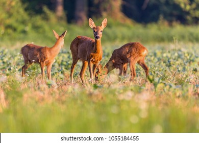 Capreolus capreolus,  Roe Deers walking on the agricultural field. Wildlife animals. Europe, Slovakia.