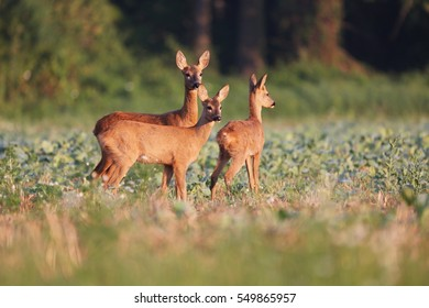Capreolus capreolus, two Roe Deers are standing on the summer meadow before the sun in the grass with early dew. Wildlife scenery.