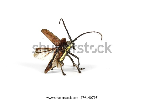 Capricorn beetle (long-horned, longicorn) Batocera rufomaculata (female)