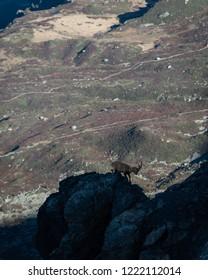 Capricorn climbing down rockface, Tour de Mont Blanc