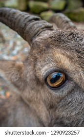 Capricorn eye and horns