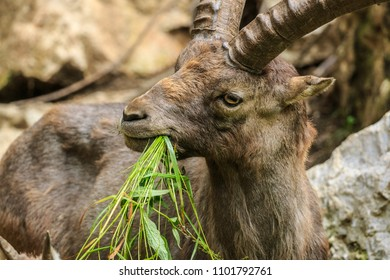Capricorn male eating grass closeup