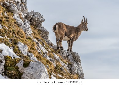 Capricorn in the montains of the Montasio Massif in the Julian Alps