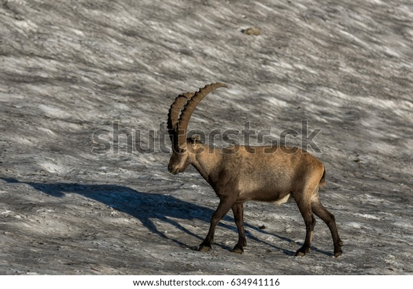 Capricorn in the morning light on a snowfield in the mountain